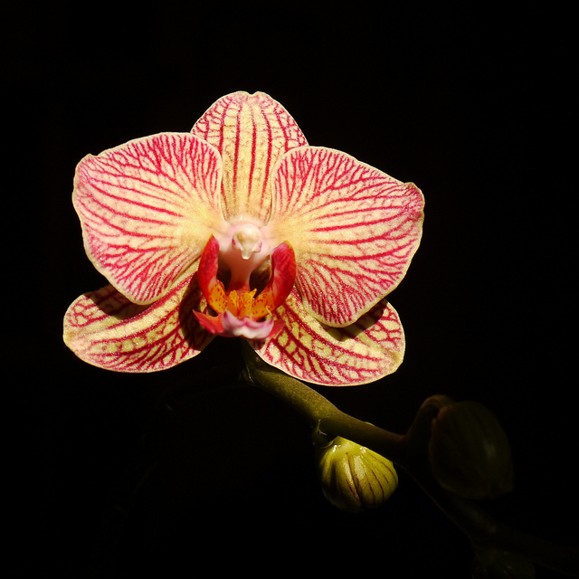 There are more than 20,000 orchid species, ranging from the white vanilla plant to more colorful varieties (above) [ Image credit: flickr]