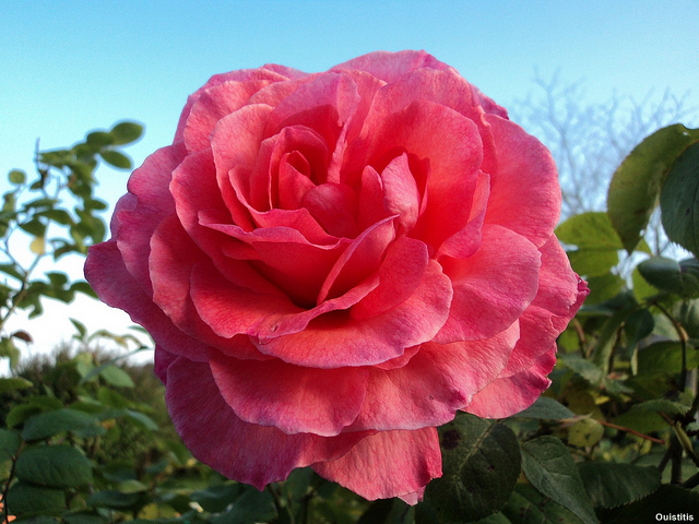 Making scents the aromatic world of flowers scienceline an ounce of rose oil requires the distillation of more than 600 pounds of rose flowers image credit flickr mightylinksfo