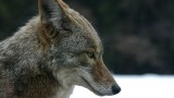 Historically a Great Plains predator, coyotes are now found in 49 states. They are hunted in 47. [Image Credit: Cristopher Bruno]