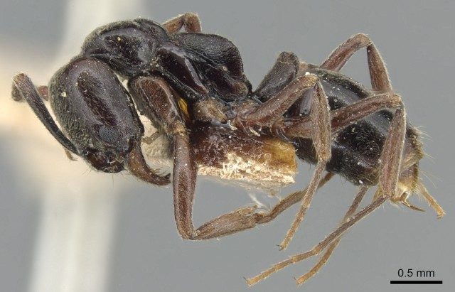 The Asian needle ant: Coming to a forest near you