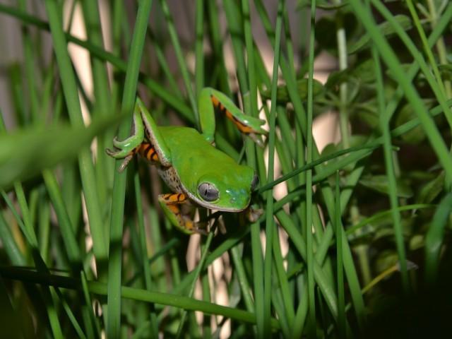 Tiger Leg Monkey Tree Frog Photo Credit by Anthony Herrel