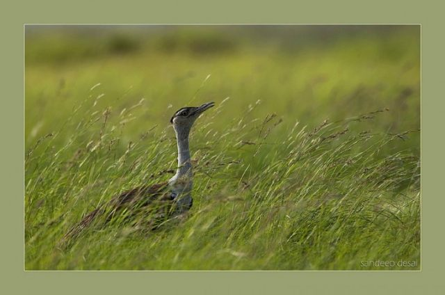 On the ground: Tracking the Great Indian Bustard