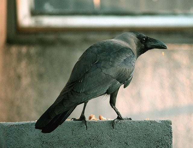 The New Caledonian Crow