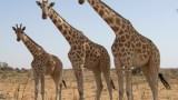 SNAPSHOT: The secret behind a giraffe's spindly legs