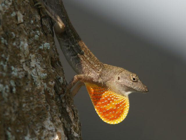 Tropical lizard might outrace climate change