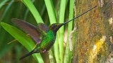 A sword-billed hummingbird.