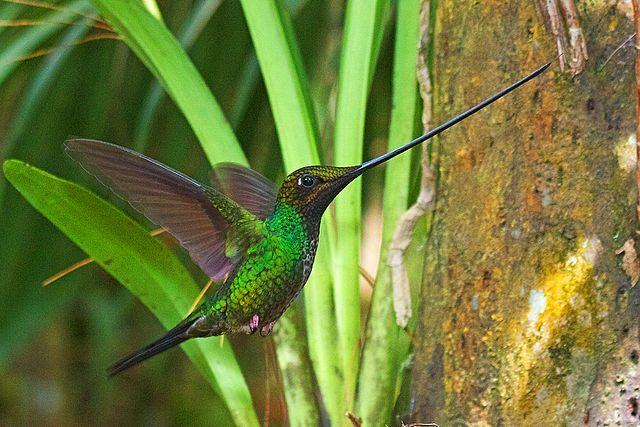 A sword-billed hummingbird.