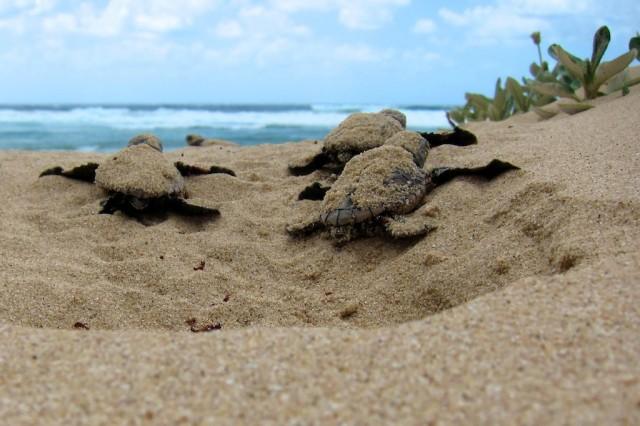 Wet beaches drown sea turtles