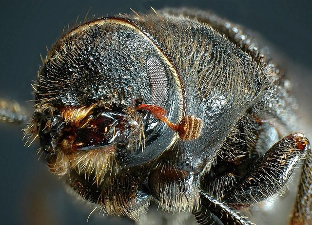 The Mountain Pine Beetle: a deadly artist