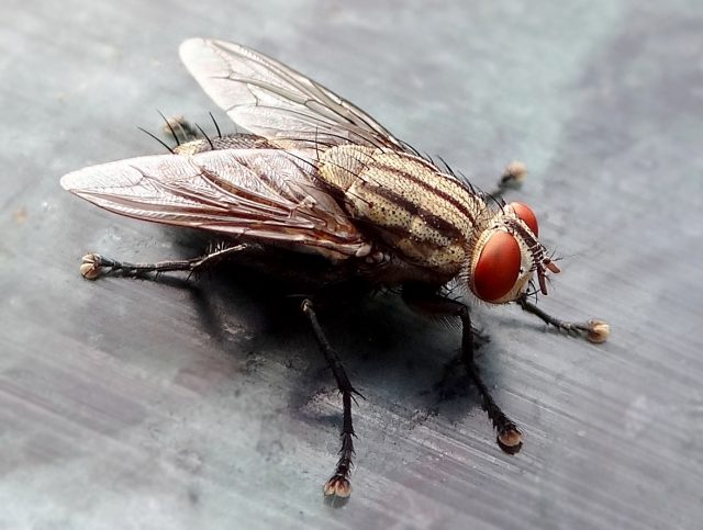 The fly — household pest, or environmental hero?