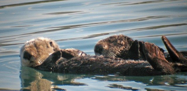 Otters get the flu, too