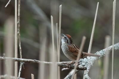Sparrow songs tune into context