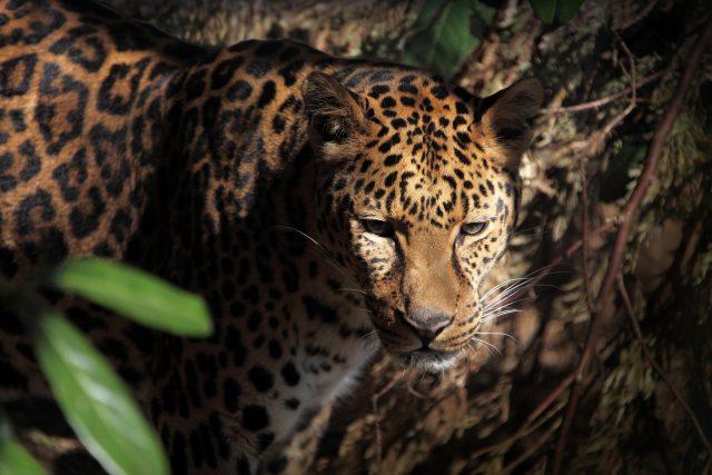 Preserving a safe passage for jaguars