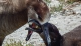 For Midway Atoll's birds, plastic is the main dish