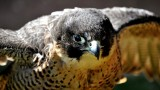 Peregrines move in upstairs