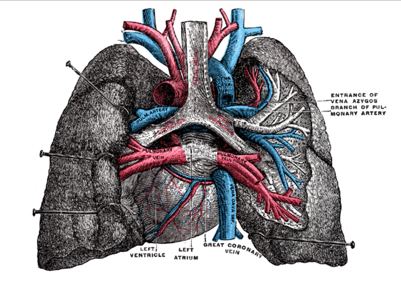 Can doctors fix a broken heart? » Scienceline