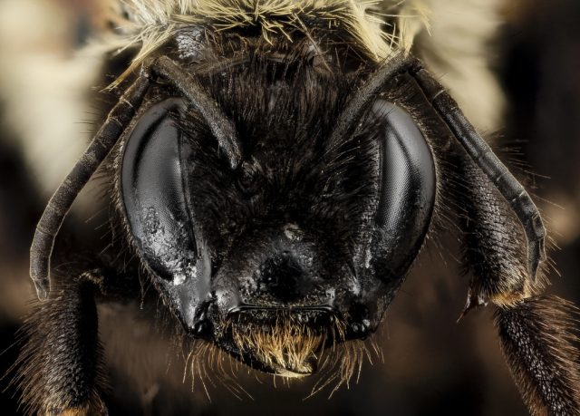 Two rare bees pass first hurdle for federal protection