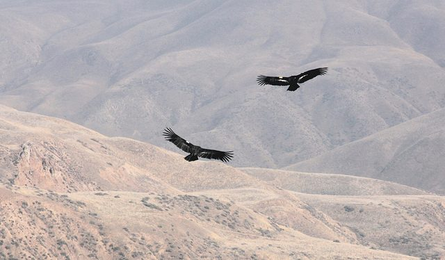 Saving California condors