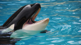 The extinction of the captive orca