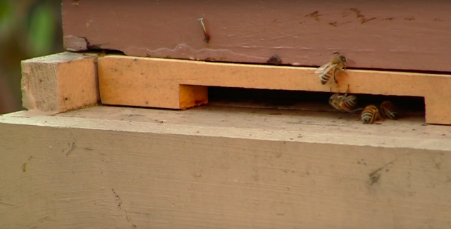 VIDEO: Beekeeping in an urban jungle