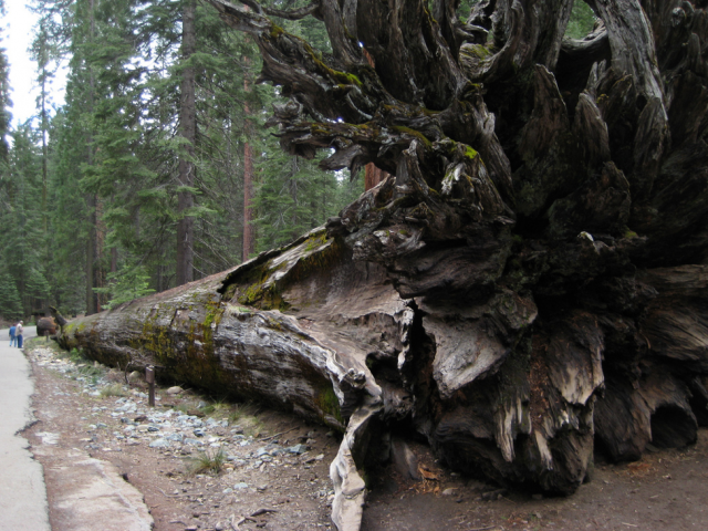 Fallen Monarch, a massive redwood tree that fell 300 years ago
