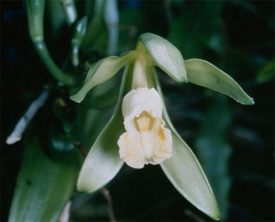 The white petals of Vanilla planifolia mask its deceitful nature. [Image Credit: Everglades National Park]
