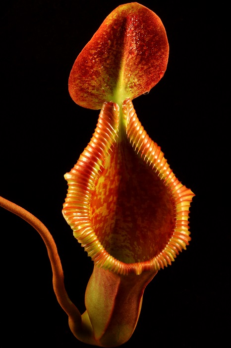 Nepenthes x trusmadiensis, the Trus Madi Pitcher-Plant, a natural hybrid of two pitcher plant species. Courtesy of Matt Kaelin.
