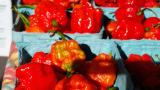 Why some people can tolerate the world's hottest pepper