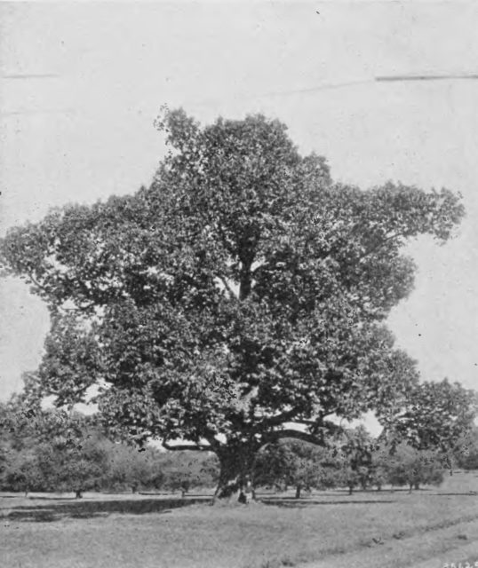 The American chestnut tree has a good shot at making a comeback