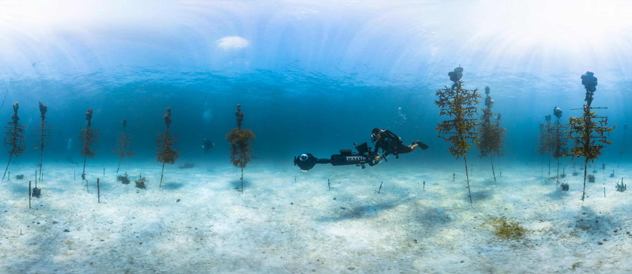A Diver Surveys C Nursery In The Florida Keys National Marine Sanctuary Hang On Trees To Promote Growth And Deter Predation