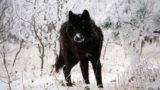 "Wolves are targets in the Endangered Species Act ""modernization"""