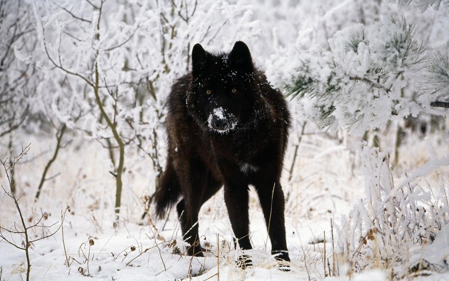Wolves Are Targets In The Endangered Species Act Modernization