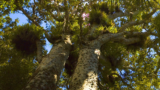 Climate detectives use kauri tree clues to uncover secrets from Antarctica