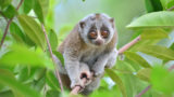 VIDEO: Saving slow lorises using DNA