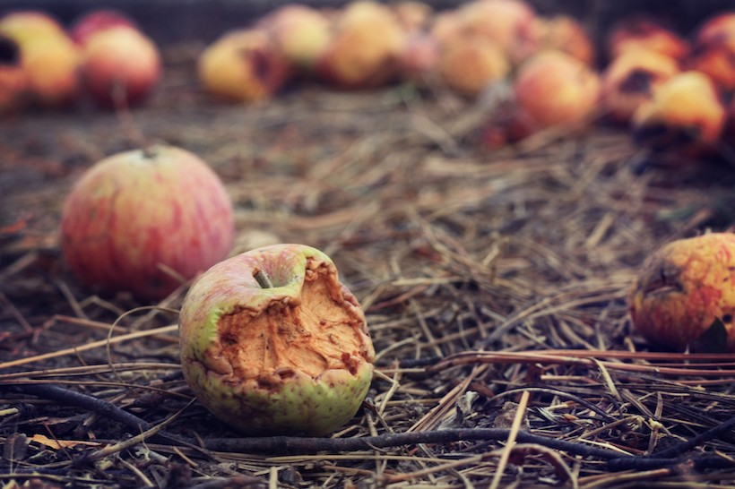 rotten apples on field