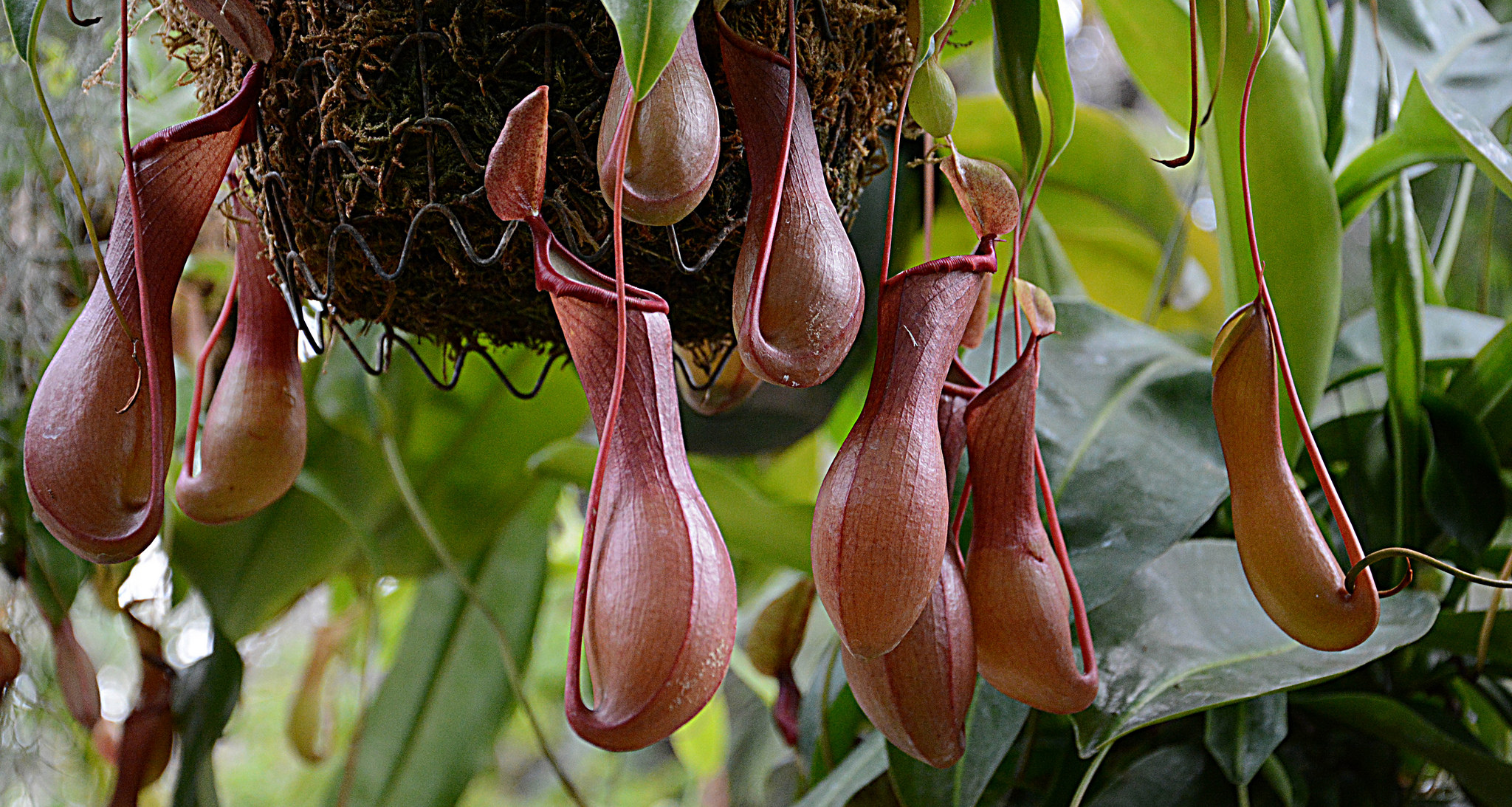 A few pitcher plants hang from some foliage.