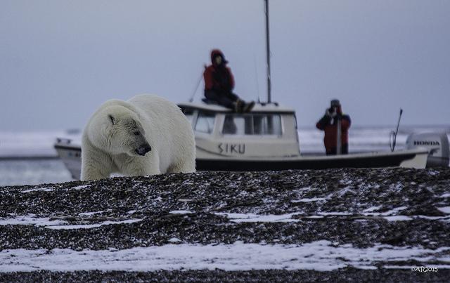 Two people on a boat watch a polar bear walk on snowy ground.