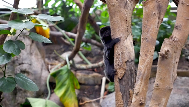 A little Goeldi's Monkey sits in a tree and watches the zookeepers
