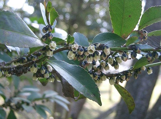 Eurya japonica plant