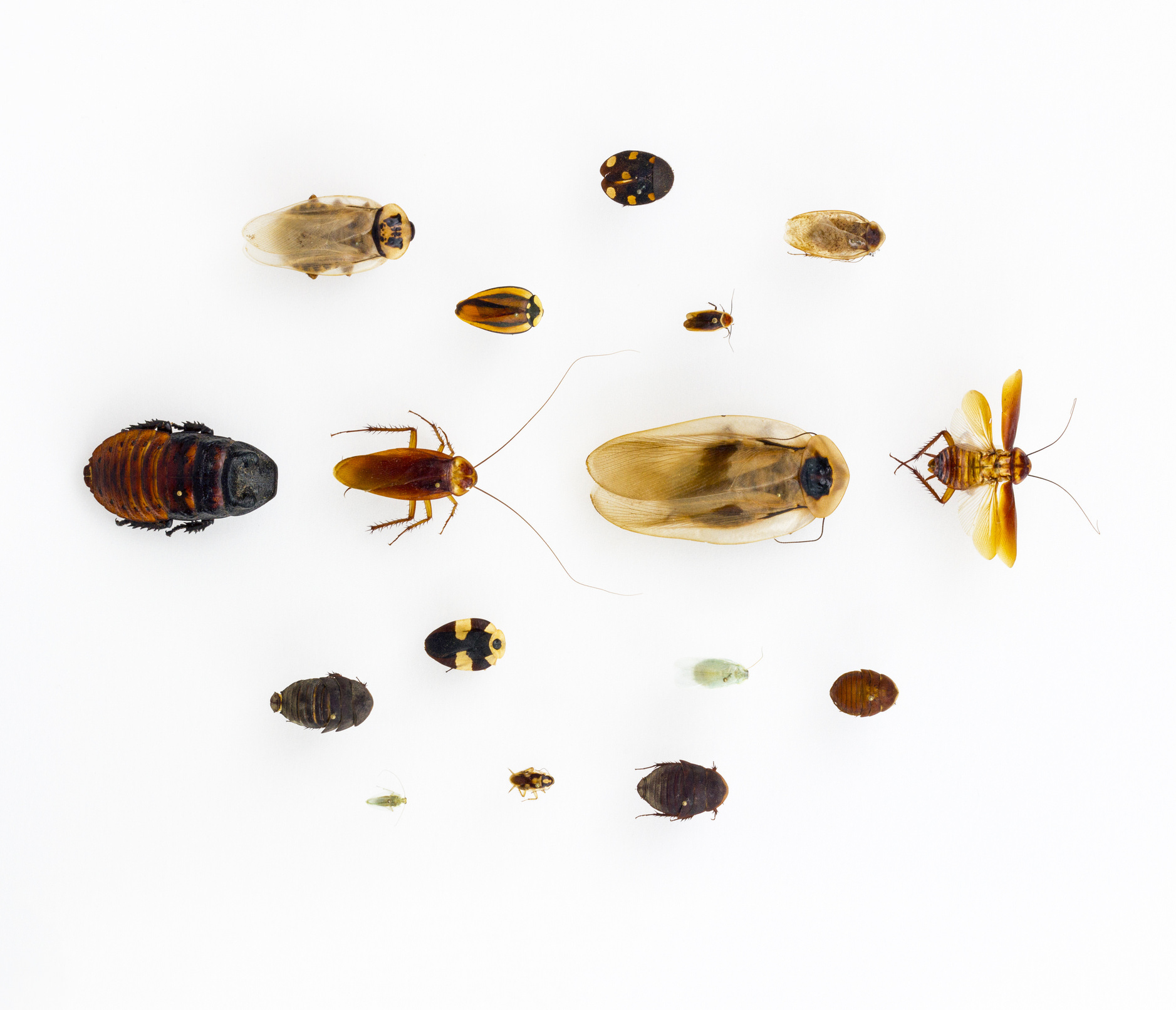 an assortment of cockroach specimens in a range of sizes and colors.