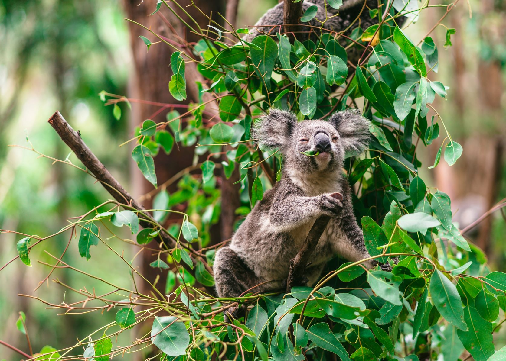 A koala sits in a tree eating leaves