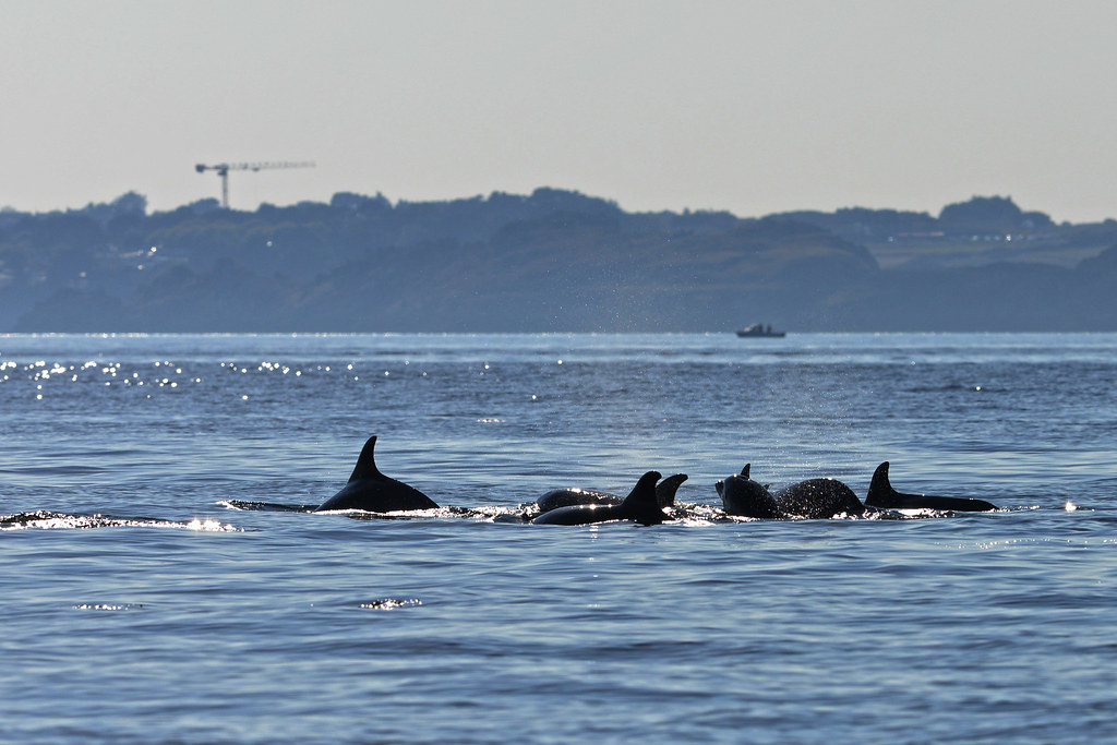 An image of some bottlenose dolphins with some artificial construction in the background