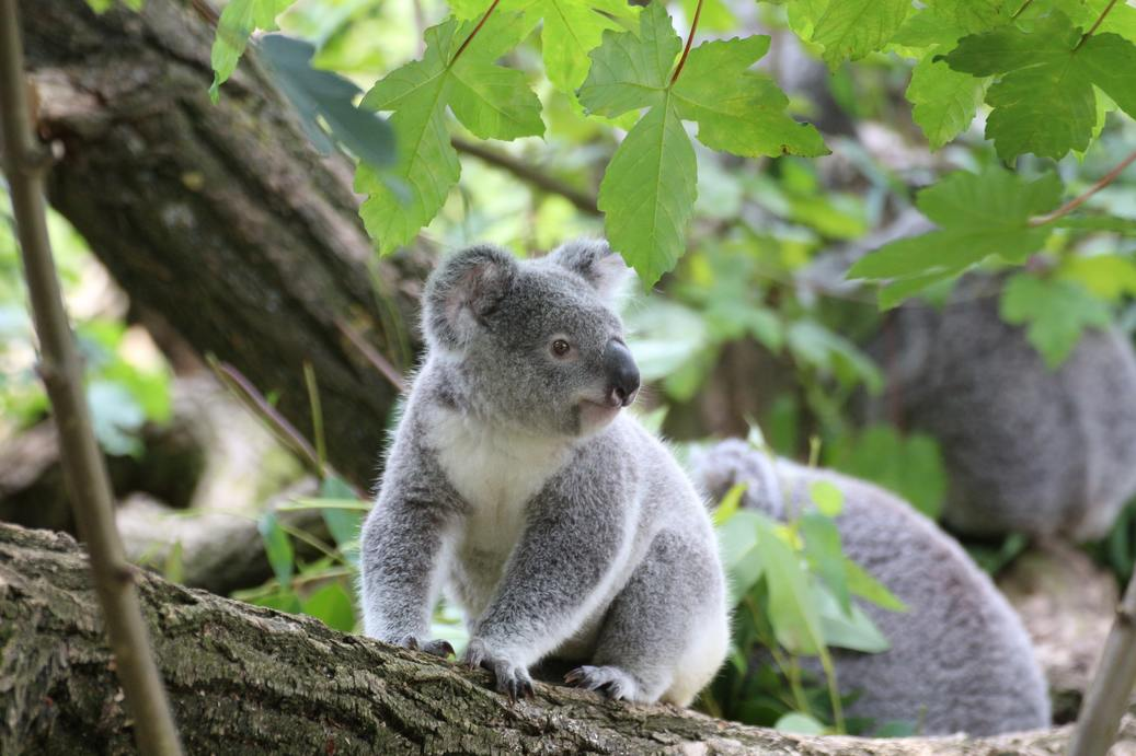 a koala stands on a tree and looks left