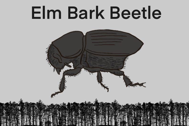 Black and white drawing of a bark beetle enlarged and placed above a black silhouette of a forest