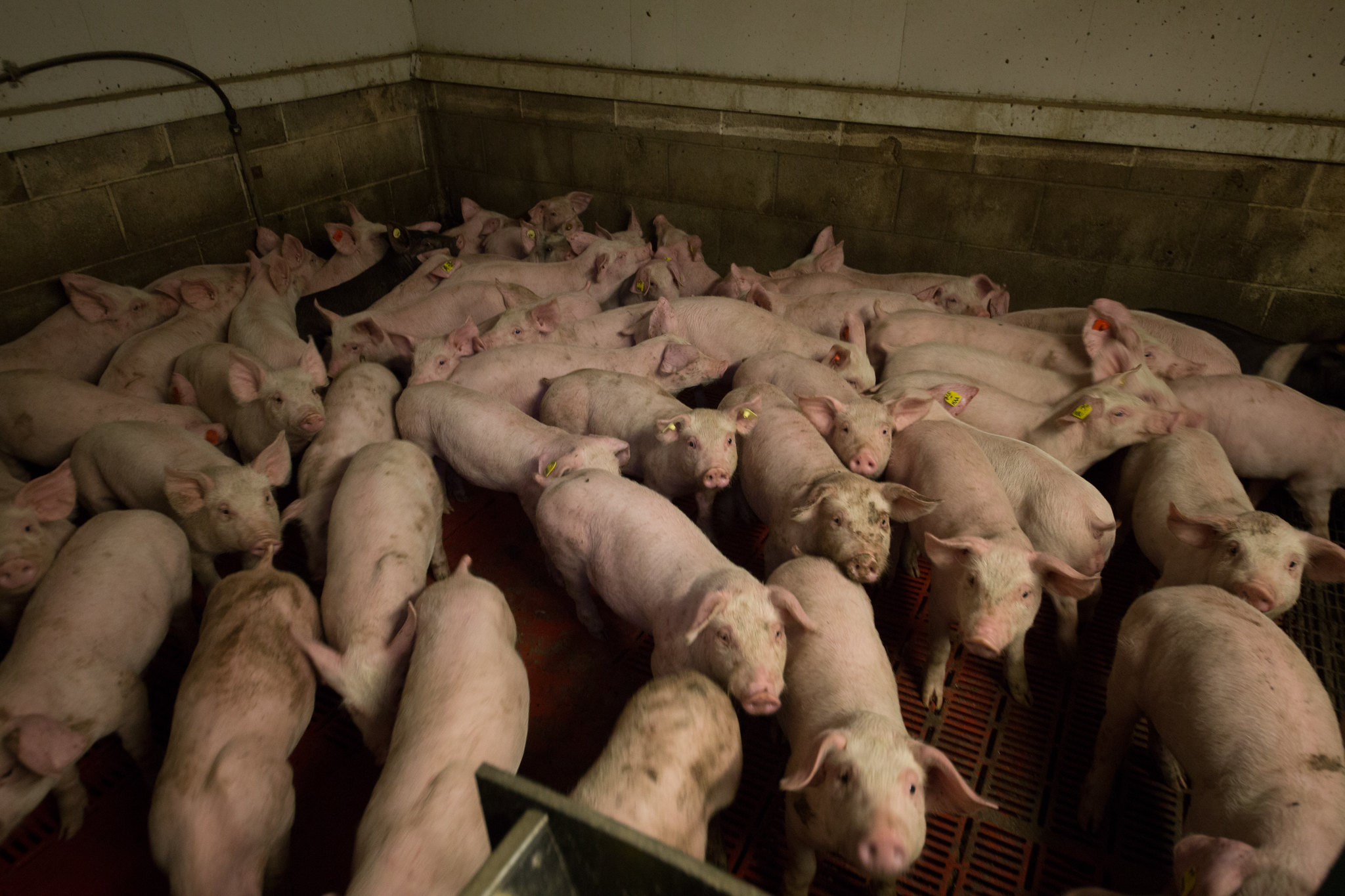 Pigs packed in an animal farm.