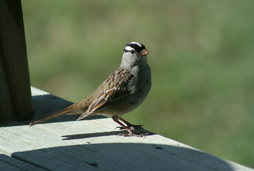 A sparrow sat upon a deck