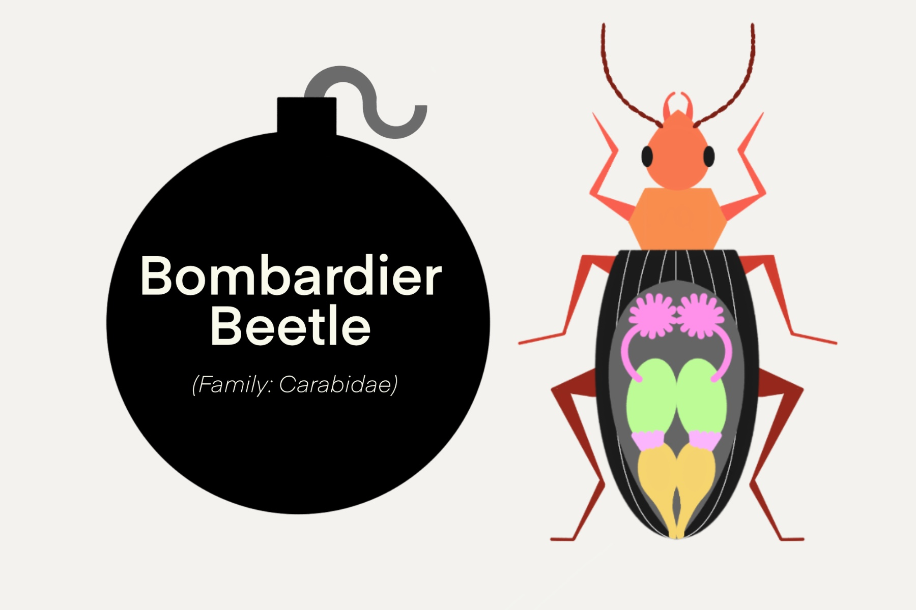 Bombardier beetle (family: carabidae) overlayed on a graphic design bomb next to a graphic design beetle.