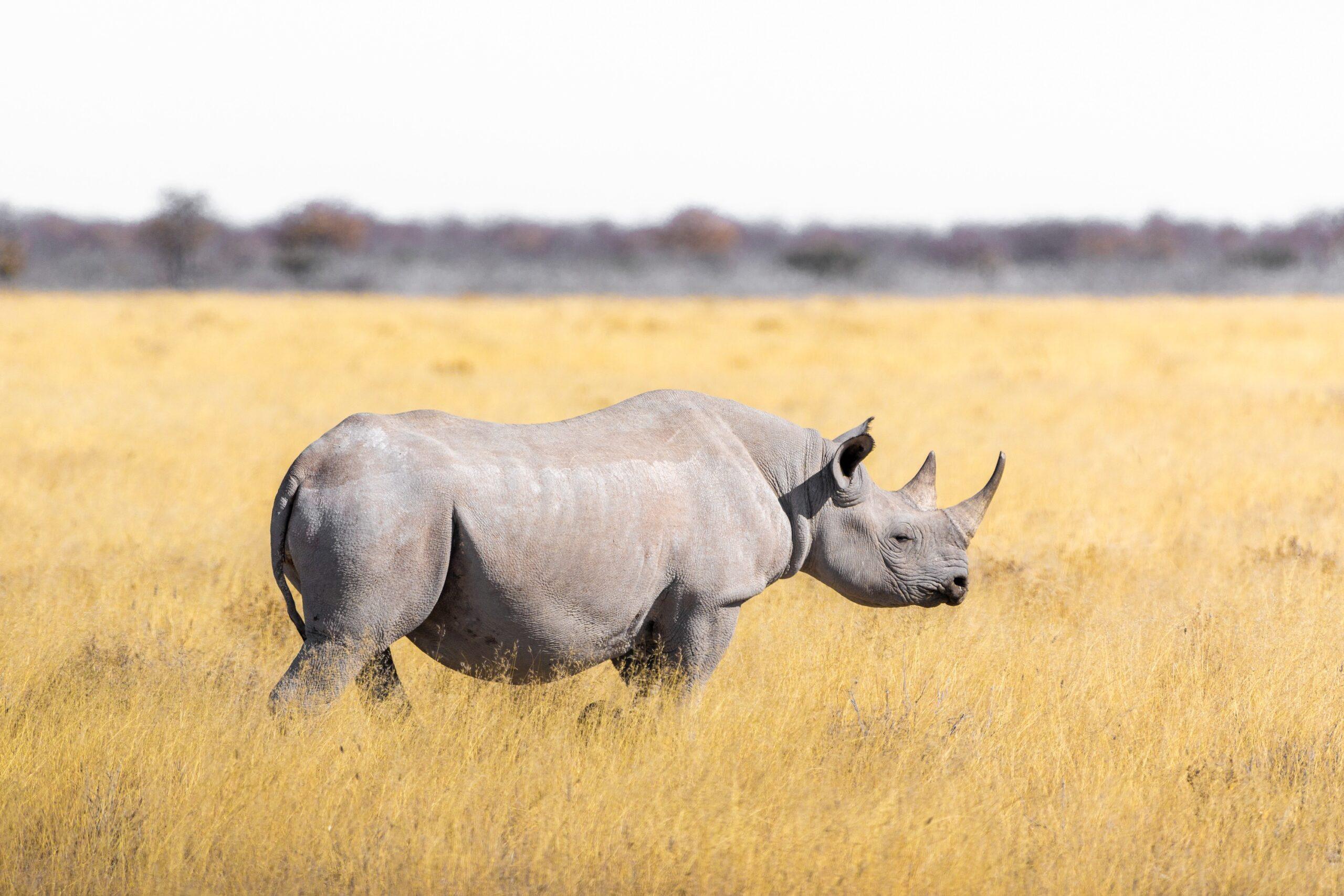 A white rhino walking across savanna grassland