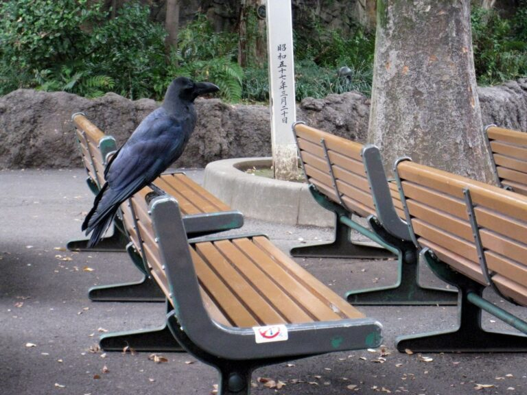 A large black bird, called a large-billed crow, perches on the back of an empty public park bench. Other benches and greenery are visible in the background. Japanese characters are visible on a post in the backgorund.