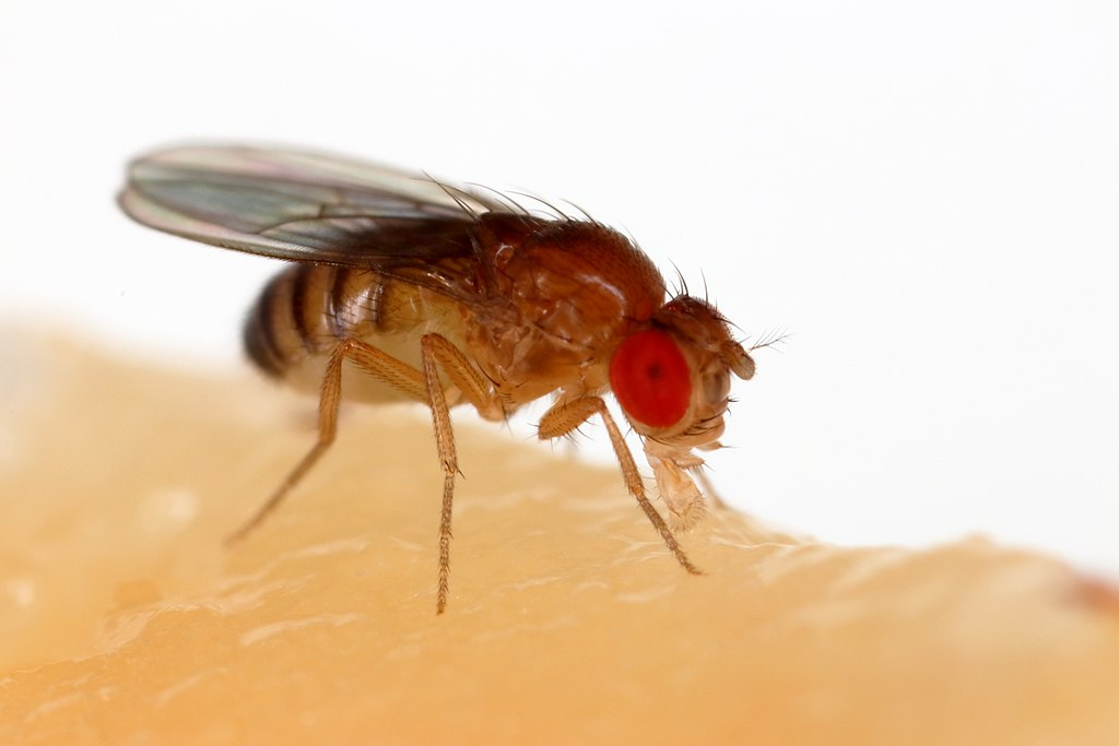 A fruit fly with large red eyes sits atop a beige substance against a white background.